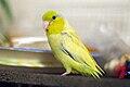 Forpus coelestis -yellow mutation -pet-8d.jpg