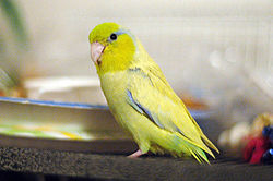 Forpus coelestis -yellow mutation -pet-8d.jpg