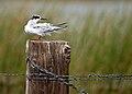 Forster's Tern Fledgling.jpg