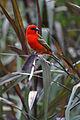 Foudia madagascariensis Réunion.jpg