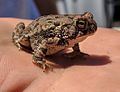 Fowler's Toad (34640290483).jpg