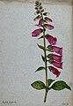 Foxglove (Digitalis purpurea); flowering stem. Watercolour, Wellcome V0043252.jpg