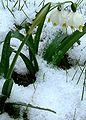 Frühlings-Knotenblume (Märzenbecher) 21 März 2007 10h 2 grd C 300m ü. M.JPG