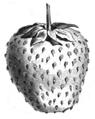 Fraise Jucunda Vilmorin-Andrieux 1883.png