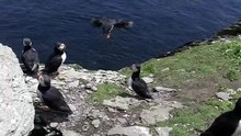Ficheru:Fratercula arctica -Skellig Michael, County Kerry, Ireland-8.ogv