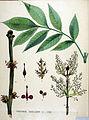 Fraxinus excelsior — Flora Batava — Volume v19.jpg