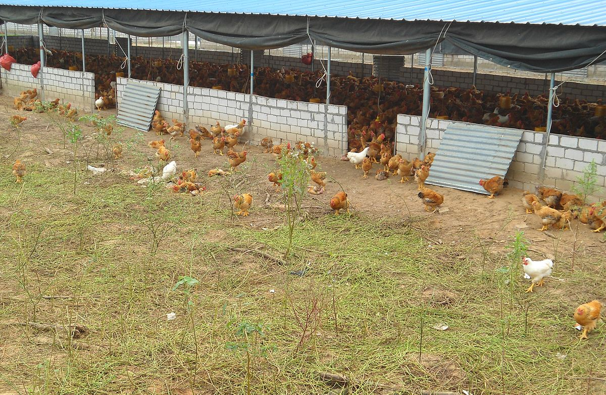 Yarding wikipedia for Poultry house plans for 100 chickens