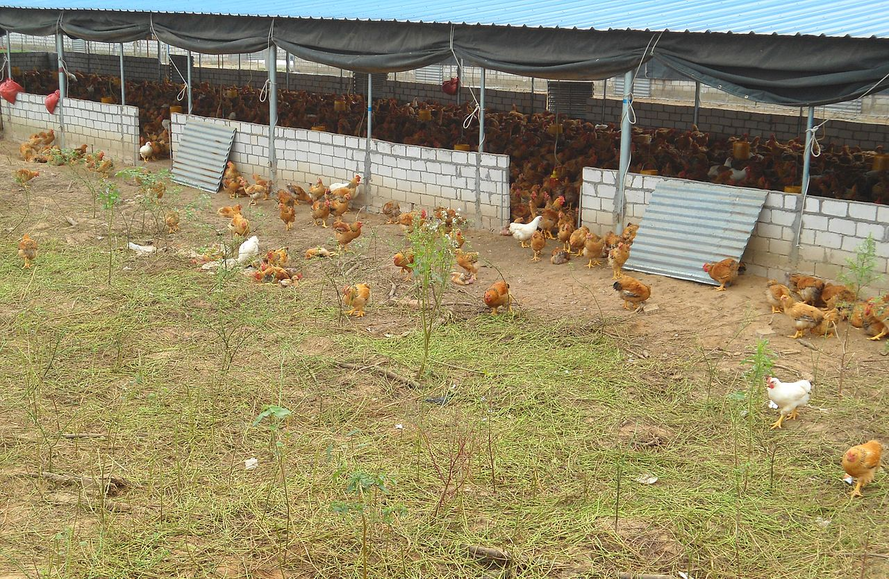 File Free Range Chickens In Hainan China 02 Jpg