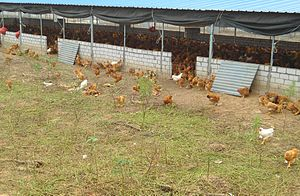 Yarding - During the daytime, the doors are left open for these chickens to choose whether to be in the yard or coop. This small poultry farm is in Hainan, China.