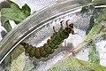 Freeliving caddisfly larva, Rhyacophila fuscula (27525853130).jpg