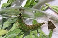 Freeliving caddisfly larva, Rhyacophila fuscula (27703173602).jpg
