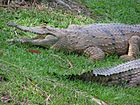 Freshwater Crocodiles Australia Zoo March 2006.JPG