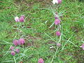 Fritillaria meleagris clump.jpg