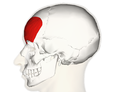 Frontalis muscle lateral.png