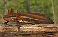 Frosted Flatwoods Salamander.jpg