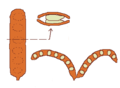 Fruit morphology legume and cross section.png