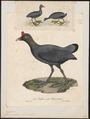 Fulica cristata - 1825-1834 - Print - Iconographia Zoologica - Special Collections University of Amsterdam - UBA01 IZ17500237.tif