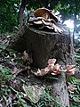 Fungi Pengo.jpg