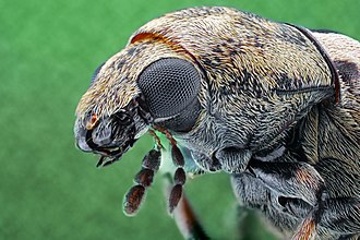Anthribidae - Close-up of fungus weevil (Anthribidae)
