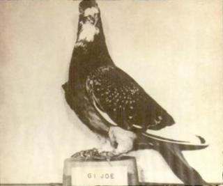 G.I. Joe (pigeon)