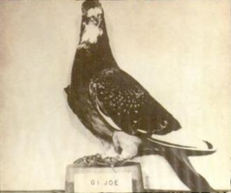G.I. Joe (pigeon) - G.I. Joe on display