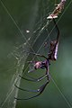 GOLDEN ORB WEB SPIDER SURINAM AMAZONE SOUTH-AMERICA (32891947861).jpg