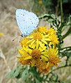 GT Holly Blue on Ragwort picnic meadow.jpg