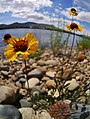 Gaillardia aristata next to Columbia River 1.jpg