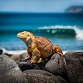 Galapagos land iguana.jpg
