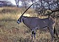 Galla Oryx (Oryx gallarum) (7662377428).jpg