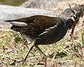 Gallinula chloropus (opened beak).jpg