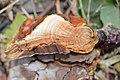 Ganoderma lucidum 4749059.jpg