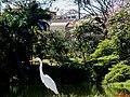 Garça Branca Grande(Casmerodius albus) no Parque do Lagoa em Altinópolis - panoramio (4).jpg