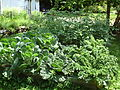 Garden plants in summer.JPG