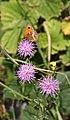 Gatekeeper Butterfly - geograph.org.uk - 897179.jpg