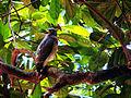 Gavião (Rupornis magnirostris) I.JPG