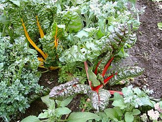 Betalain - Swiss chard, showing one plant expressing yellow betaxanthins and another expressing red betacyanins.