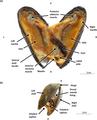 General anatomy of Mytilus edulis tissues.webp