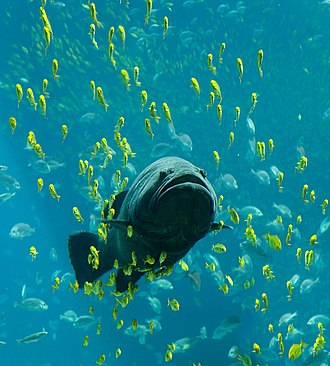 Fish - Giant grouper swimming among schools of other fish