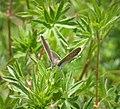 Geranium Argus female . Eumedonia eumedon (44741827454).jpg