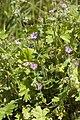 Geranium molle velennes 80 10062008 2.jpg
