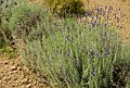Giardino delle erbe 04.jpg