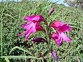 Gladiolus illyricus 3.JPG