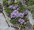 Globularia repens - Flickr - S. Rae.jpg