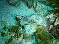 Glyptauchen panduratus Goblinfish P1021061.JPG