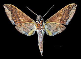 Gnathothlibus meeki - Gnathothlibus meeki  male ventral MHNT
