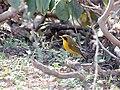 Golden Bush Robin-Male I IMG 3437.jpg