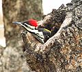 Goldenbacked Woodpecker (1).jpg