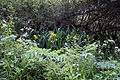 Good Easter, Essex, England - roadside plants near to ford over River Can east of Good Easter village.JPG