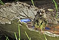 Gråsparv House Sparrow (20342646542).jpg